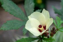 Beautiful Okra Flowers Bloom I...