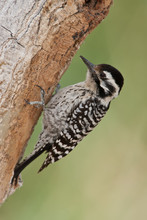 Ladder-backed Woodpecker Adult Male Taken In SE Arizona