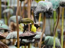 Female Olive-backed Sunbird ( ...