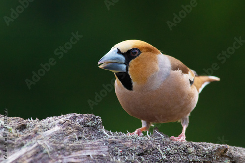 Photo Beautiful male European songbird Hawfinch, Coccothraustes coccothraustes with a