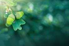 Oak Branch With Two Acorns Isolated On Green Background.