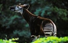 Okapi, Okapia Johnstoni, Adult Licking Its Nose