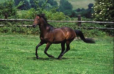 English Thoroughbred Horse Galloping in Paddock