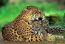 Jaguar, Panthera Onca, Mother With Cub Laying