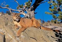 Cougar, Puma Concolor, Adult L...