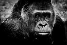 Portrait D'un Gorille Des Plai...