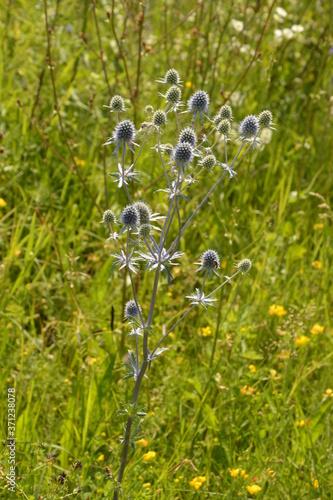 Fototapeta flowering Eryngium campestre - plant of the umbelliferous family, against a back