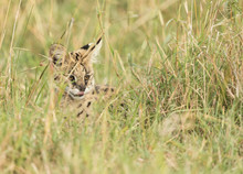 African Serval Cat Hiding In The Tall Grasses Of The Maasai Mara