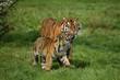 canvas print picture - Sumatran Tiger, panthera tigris sumatrae, Mother with Cub
