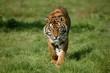 canvas print picture - Sumatran Tiger, panthera tigris sumatrae, Adult
