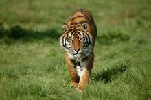 Sumatran Tiger, Panthera Tigris Sumatrae, Adult