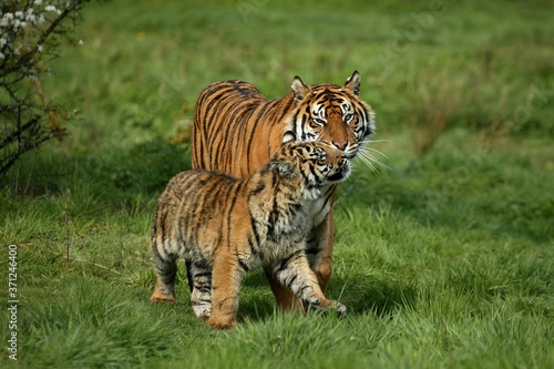 Fototapeta Sumatran Tiger, panthera tigris sumatrae, Mother with Cub