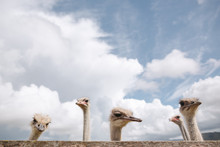 Quirky Ostrich Portrait.