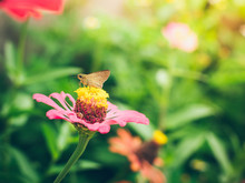 Portrait Of Brown Butterflies Are Sucking Nectar From Pink Zinnia Flowers Blooming During The Morning Sun With Nature Background