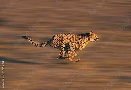 Fotografija CHEETAH acinonyx jubatus, Adult running through Savannah