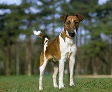 Smooth Fox Terrier Dog With Collar