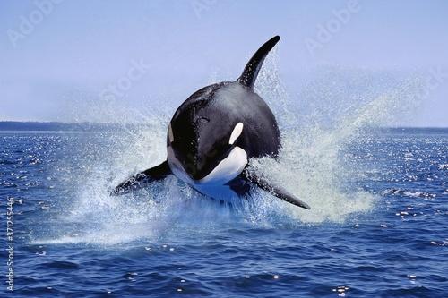 Fototapeta Killer Whale, orcinus orca, Adult Leaping, Canada obraz