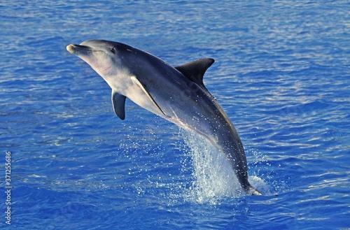 Canvas-taulu Bottlenose Dolphin, tursiops truncatus, Adult Leaping