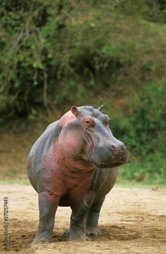Tablou Canvas Hippopotamus, hippopotamus amphibius, Masai Mara Park in Kenya