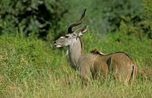 Greater Kudu, Tragelaphus Strepsiceros, Male Standing In Bush, Kruger Park In South Africa