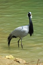 Demoiselle Crane, Anthropoides...