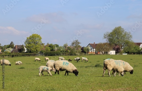 Sheep and lambs grazing in a Prestbury, Gloucestershire, village field in England Wallpaper Mural