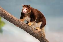 Matschie's Tree Kangaroo, Dend...
