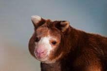 Matschie's Tree Kangaroo, Dendrolagus Matschiei, Portrait Of Adult