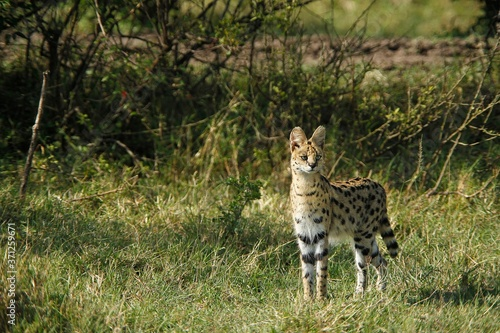 Fényképezés Serval, leptailurus serval, Adult, Masai Mara Park in Kenya