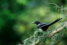 Black Billed Magpie Or Europea...