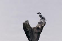 Pied Kingfisher Bird Resting O...