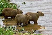 Capybara, Hydrochoerus Hydrochaeris, Group Standing In Swamp, Los Lianos In Venezuela
