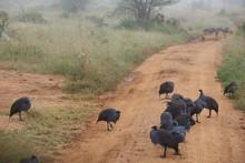 Vulturine Guineafowl On Road In Kenya, Africa