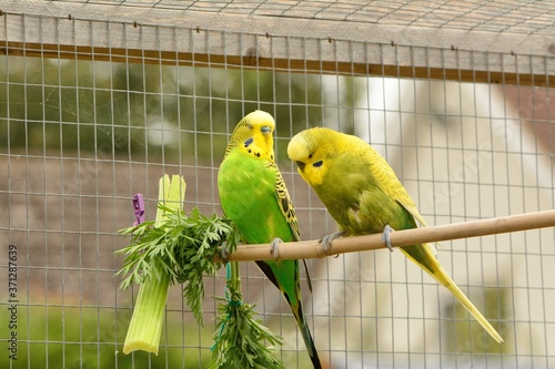Vászonkép 2 green and yellow budgerigars ,, Melopsittacus undulatus , seemingly engaged in