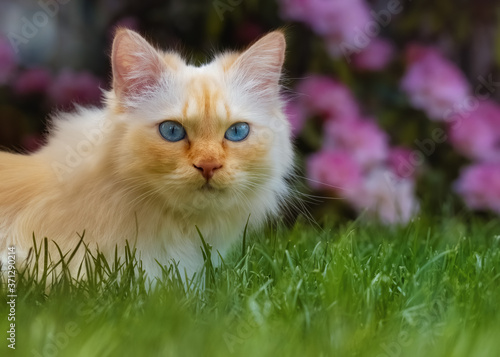 Foto Blue-eyed cat sitting in the grass in front of a flowering rhododendron