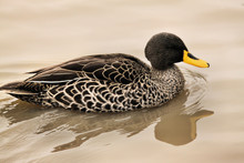 A View Of A Yellow Billed Duck