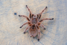 Close Up And Top View Of Grammostola Rosea Red Standing On Wood Slice. Poster, Wallpaper, Pet Idea