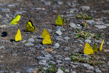 Numerous Clouded Sulphur Butterflies (Colias Philodice) Also Known As Clouded Yellows Are On Gravel Covered Ground. They Have Light Yellow Wings And Green Eyes.