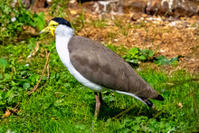 Vanellus Miles Known As Masked Lapwing, Masked Or Spur-winged Plover Is A Large, Common And Conspicuous Bird Native To Australia