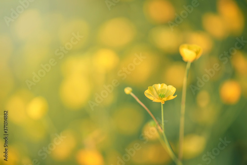 Fototapeta Silverweed, Potentilla anserina yellow flower in the green grass