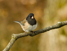 A Dark-eyed Junco Perched On A...