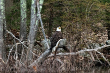 Bald Eagle Perched On Log 1