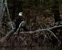 Bald Eagle Perched On Log 2