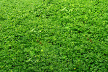Pinto Peanut Ground Cover Plants