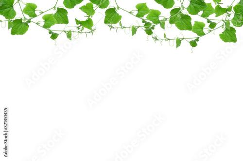 Valokuvatapetti vines background isolated on white , copy space