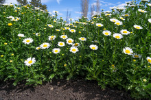 A Bed Of Daisies From A Low Angle