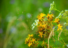 St. John's Wort In A Bouquet With Other Field Herbs On A Blurred Background Of The Clearing