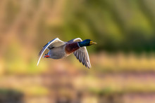 Lone Mallard Duck  Flying Over The Wetlands  Looking For A Mate