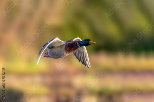 Valokuva Lone mallard duck  flying over the wetlands  looking for a mate