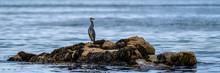Grey Heron Standing On A Rock In The Ocean